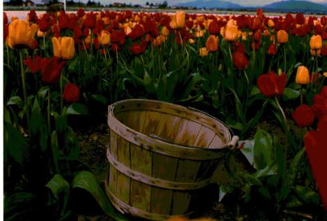 tulips-2-3