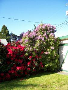 Rhodie & lilacs1