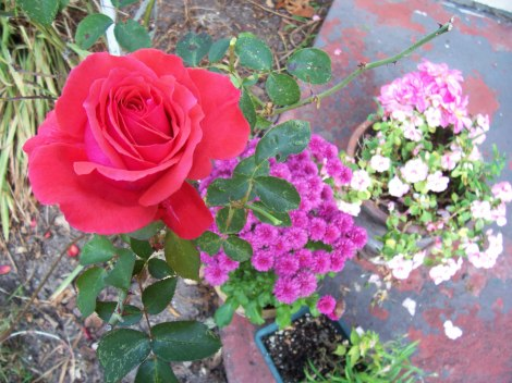Rose, Mums