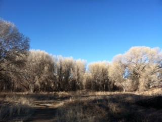 Cottonwoods by Lake Watson