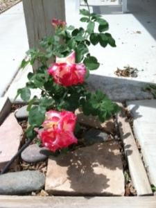 Roses multi colored