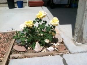 Yellow roses2